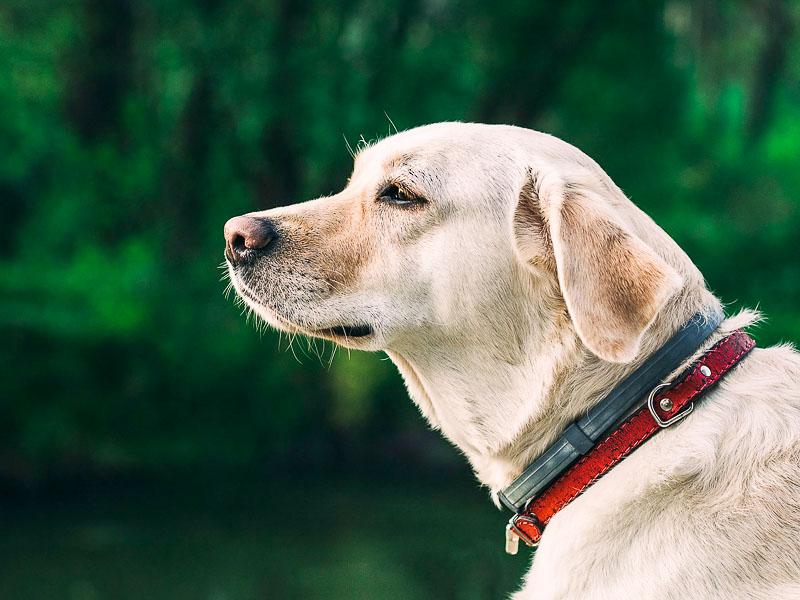 labrador retriever züchter - hunde123.de