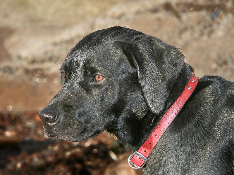 labrador schwarz charakter hunderasse mit bild - hunde123.de