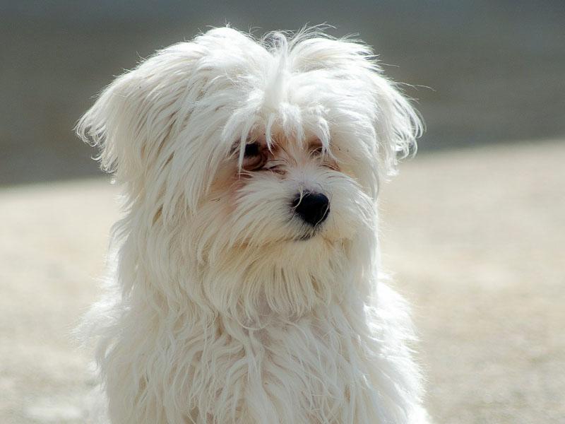 malteser hunderasse auslauf - Hunde123.de
