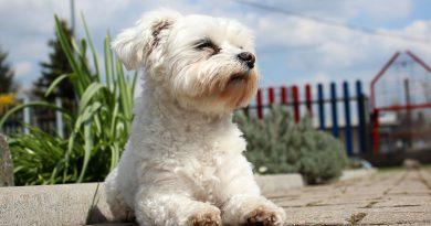 malteser mini Hunderasse Info - Hunde123.de