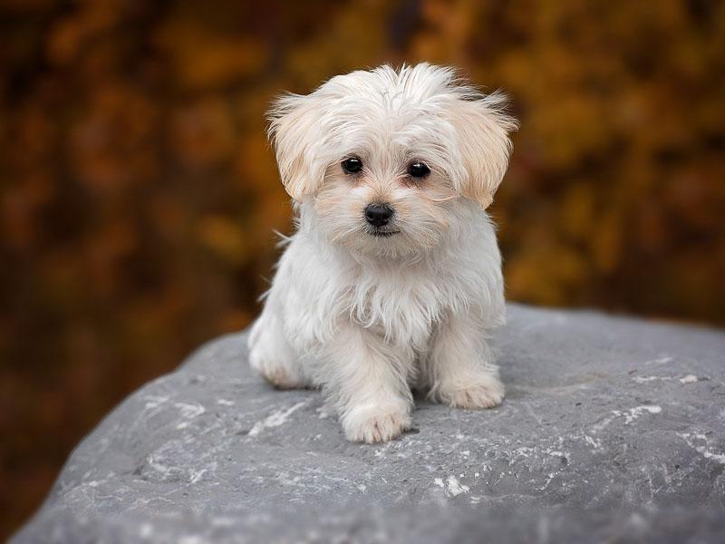 malteser welpe hund - hunderassen mit bild - Hunde123.de