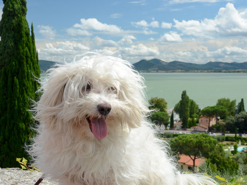 hund malteser - hunderasse profil mit bild - Hunde123.de
