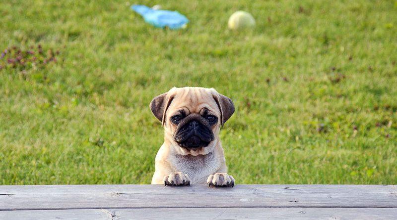 mops english pug info - Hunde123.de