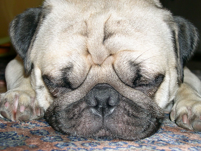 mopswelpen welpe zucht bilder - Hunde123.de