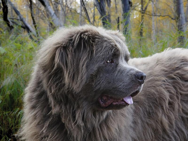 Hunderasse Neufundländer Information kaufen - Hunde123.de
