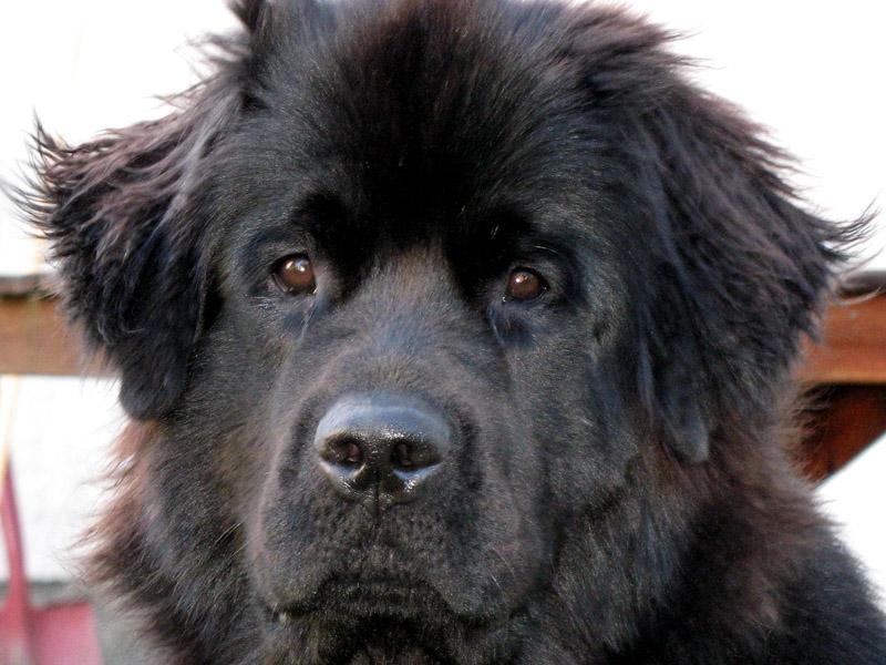 Neufundländer Hunderasse Lebenserwartung - Hunde123.de