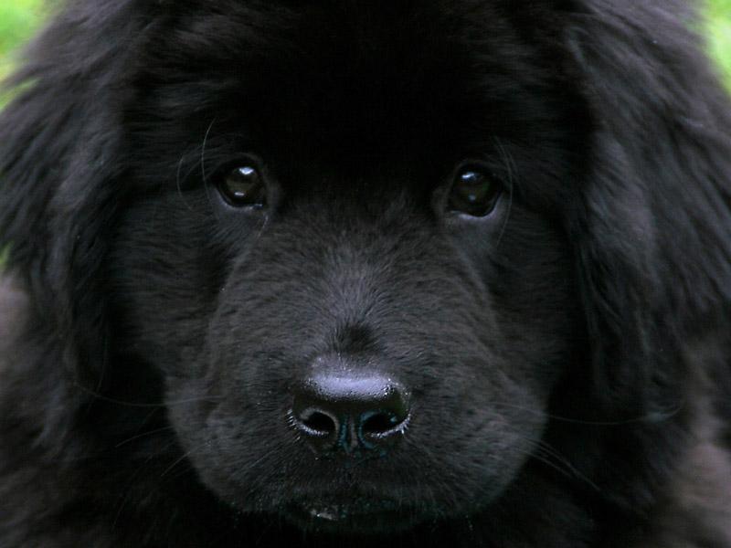 Neufundländer welpen kaufen züchter - Hunde123.de Hunderassen