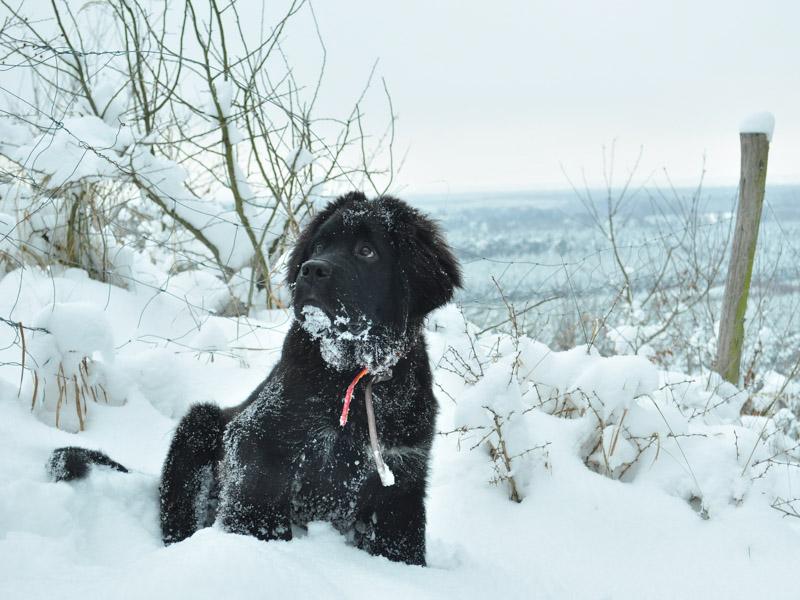 Neufundländer im Schnee fellpflege erziehung - Hunde123.de Hunderassen