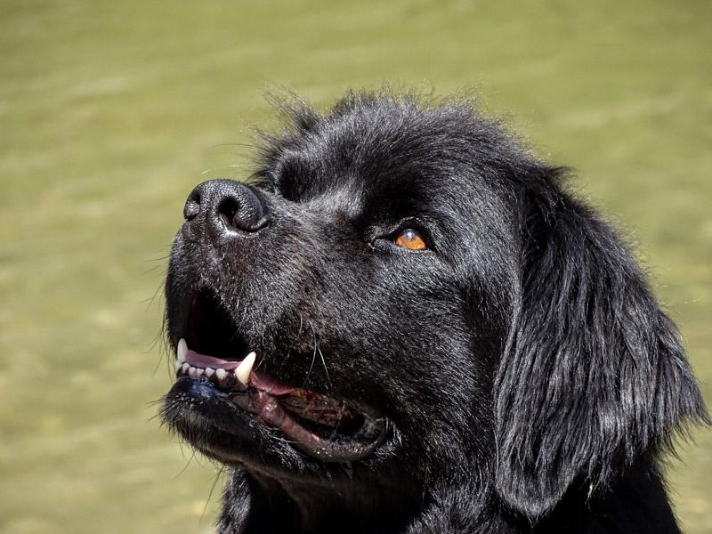 Neufundländer auslauf pflege - Hunde123.de Hunderassen