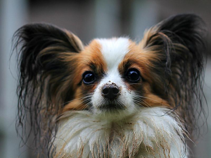 Hunderasse papillon Information kaufen - Hunde123.de Hunderassen