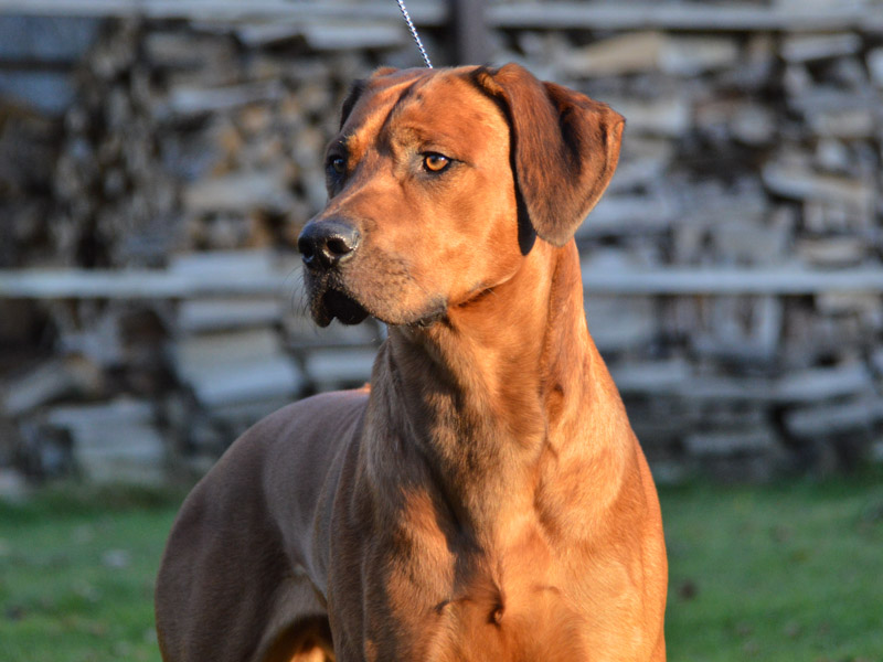 Rhodesian Ridgeback information wesen - Hunde123.de Hunderassen