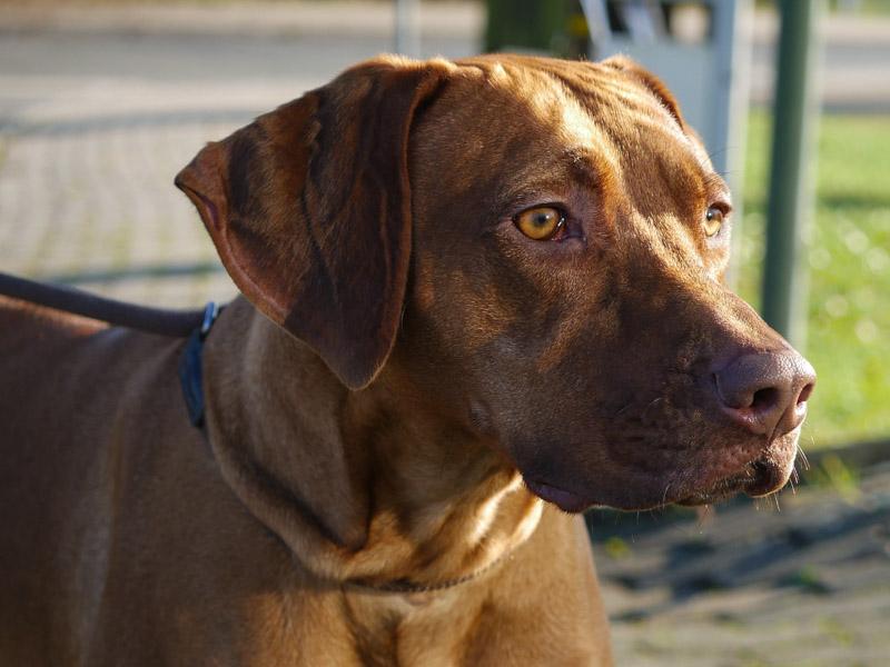 Rhodesian Ridgeback charakter wesen - Hunde123.de Hunderassen