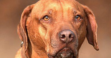 Rhodesian Ridgeback auslauf pflege - Hunde123.de Hunderassen