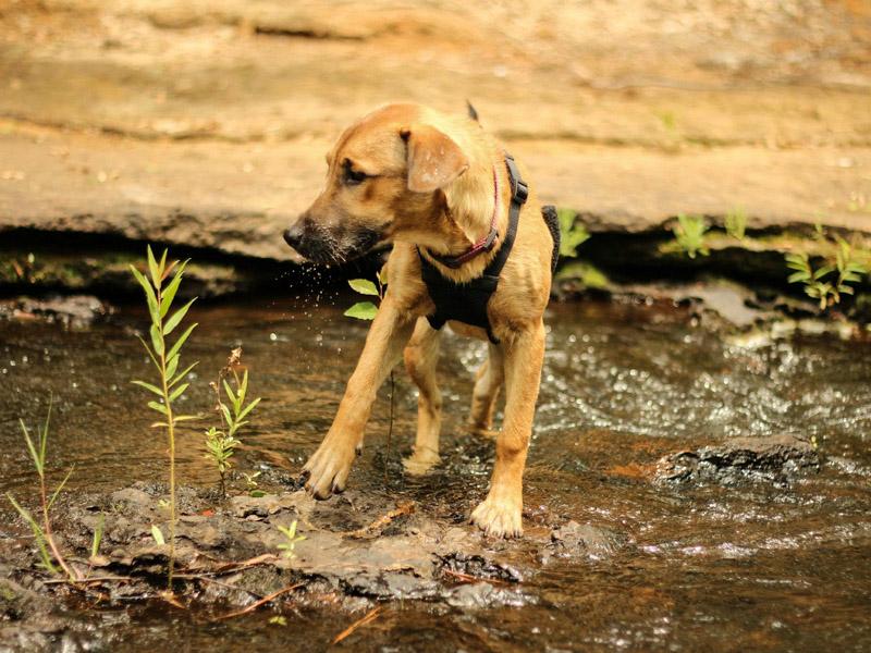 Rhodesian Ridgeback welpe zucht züchter kaufen züchter - Hunde123.de Hunderassen