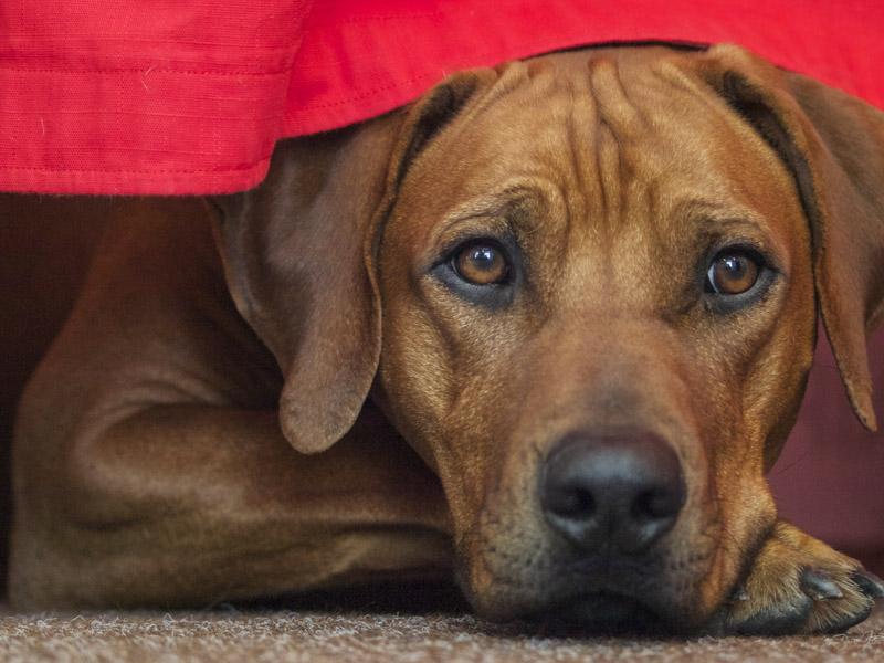 Rhodesian Ridgeback Krankheiten Lebenserwartung - Hunde123.de Hunderassen