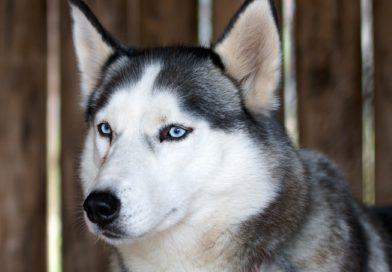 Hunderasse Siberian Husky Information kaufen - Hunde123.de Hunderassen