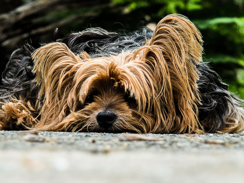 wie alt werden yorkshire terrier hunderasse - hunde123.de