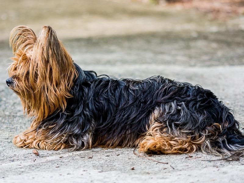 yorkshire terrier gewicht auslauf fressen - hunde123.de