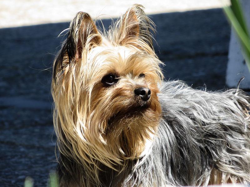 yorki terrier yorkshire haltung - Hunde123.e