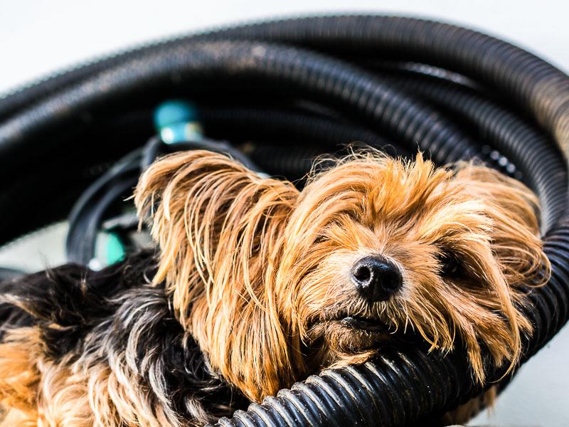 mini yorkshire terrier züchter welpe - hunde123.de