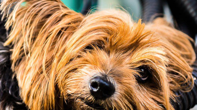 yorkshire terrier hunderasse info - Hunde123.de