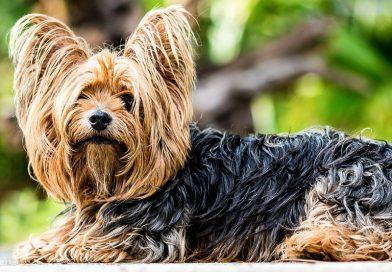 yorkshire terrier lebenserwartung Info Hunderasse - Hunde123.de