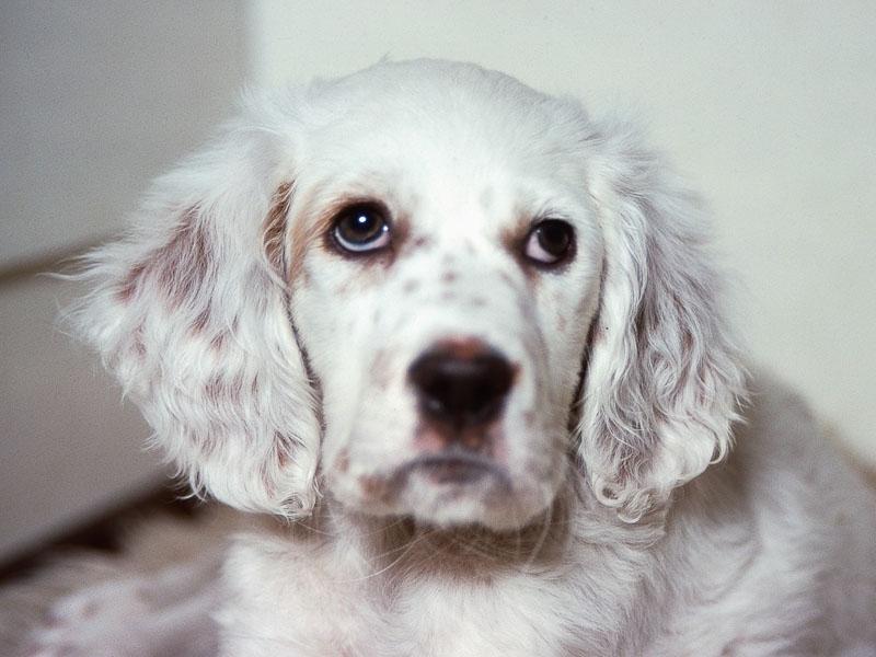 English Setter Welpen Zucht Kauf Preis - Hunde123.de
