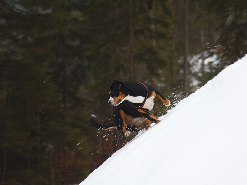 Entlebucher Sennenhund Erziehung Wesen Charakter - Hunde123.de