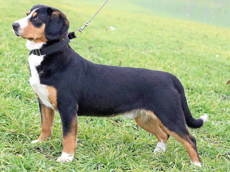 Entlebucher Sennenhund Hunderasse Wesen Haltung Kauf