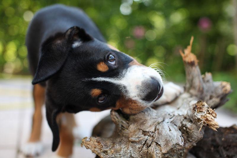 Entlebucher Sennenhund Zucht Welpen Kauf Preis Haltung - Hunde123.de