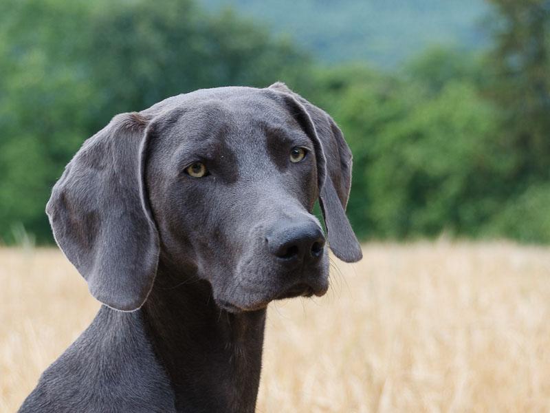 Weimaraner Rüde Hündin Gewicht - Hunde123.de