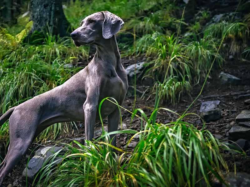 Weimaraner Jadghund Auslauf Hundesport - Hunde123.de